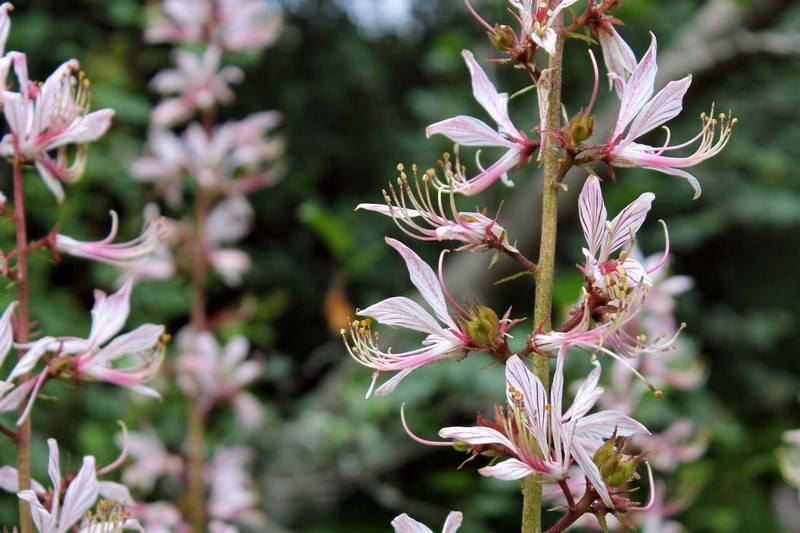 Dictamnus angustifolius