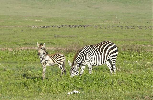 zebra col cucciolo cratere ngorongoro