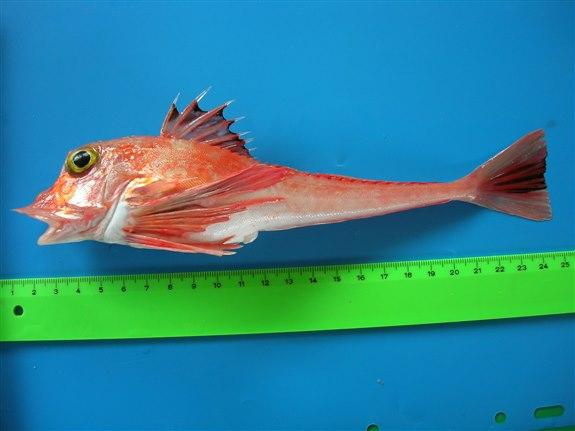 Öksüz Balığı - Ö Hayvan İsimleri
