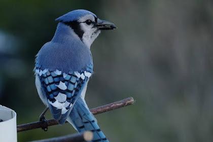 Dibalik Kecantikannya, Inilah 6 Kebiasaan Aneh Burung Blue Jay
