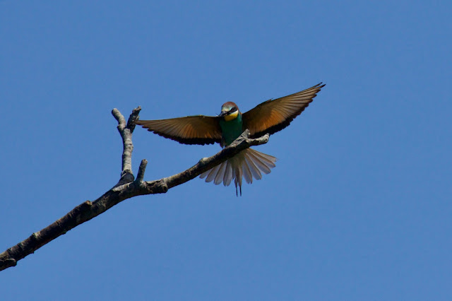 European Bee-eater Merops apiaster. Vienne. France. Photo by Ingrid de Winter for Loire Valley Time Travel.