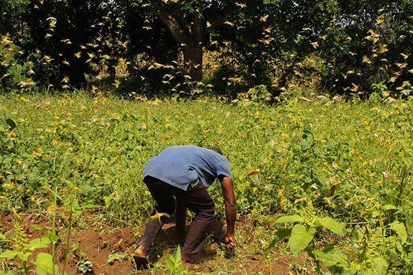 Desert locusts destroy vegetation in Mitunguu, Meru County. PHOTO | NMG