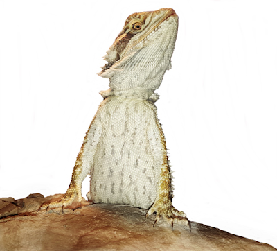 Bearded dragon poo