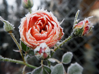 how to take care of roses in winter