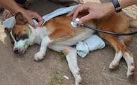 penyakit hepatitis pada anjing yang perlu diwaspadai