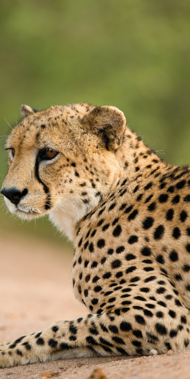 Picture of a cheetah resting.