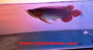 Jenis Ikan Arwana Di Indonesia