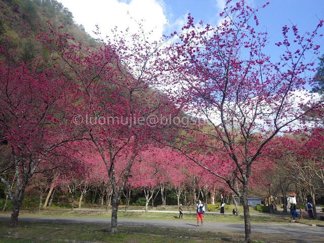 Aowanda cherry blossoms