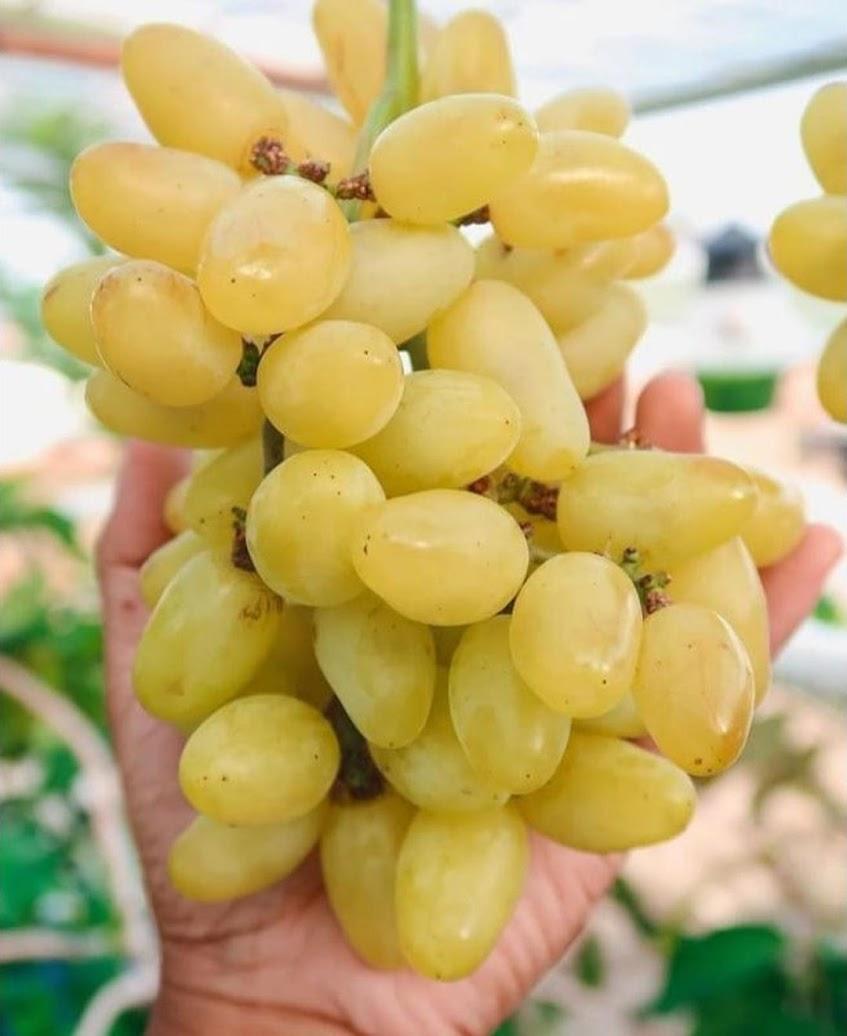 bibit anggur inport transfiguration unggulan Metro