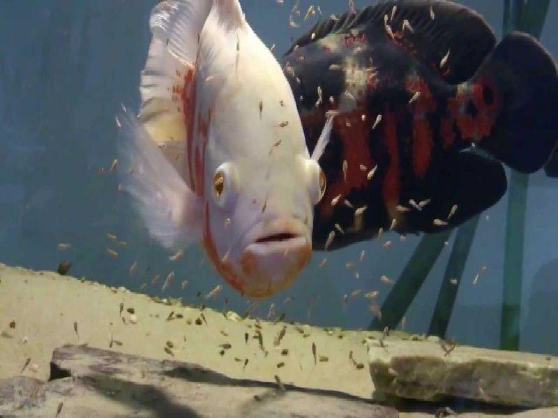Makanana Ikan Oscar untuk Warna