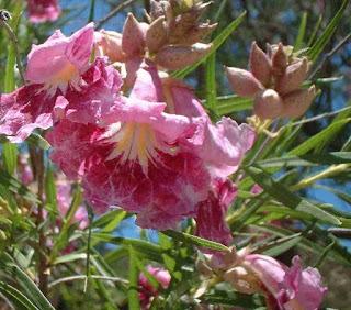https://1.bp.blogspot.com/-mZHz8wxXD-M/WM7SEdyV9vI/AAAAAAAAG7o/vF_fGUVKOocDiEmyGxT4r1II-GfspCurwCLcB/s1600/Desert+Willow+Bush.jpeg
