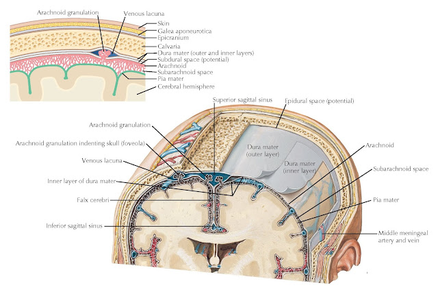 SCHEMATIC OF THE MENINGES AND THEIR RELATIONSHIPS TO THE BRAIN AND SKULL