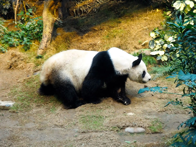 An An the giant panda in the Sichuan Treasures exhibit of Ocean Park, Hong Kong