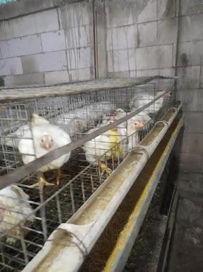 Jenis penyakit ayam