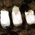 امراض النحل في هذا العدد مرض تحجر الحضنة