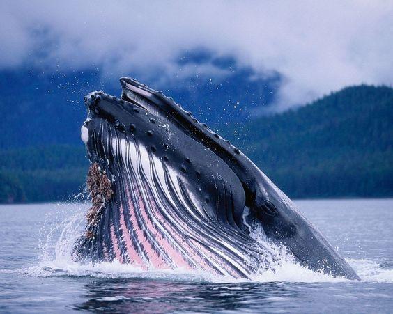 Curiosidades sobre a baleia-azul: Garganta profunda sim, mas nem tanto! - Apesar do tamanho de sua boca, sua garganta é incapaz de engolir um objeto maior que uma bola de praia.   Algo que não podem acusar a baleia-azul é de não ter um grande coração! - Seu coração pesa em torno de 600 kg e é a maior parte de corpo conhecida de todos os animais.