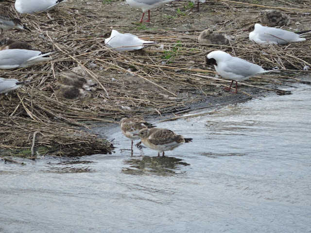 Two black-headed gull chicks at the water's edge with adults nesting nearby