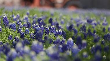 Temporada de Bluebonnets (Lupinus): las alfombras azules de Texas