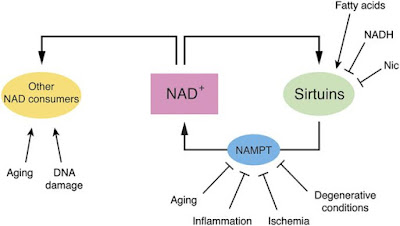 What is NAD and how do they relate to aging?
