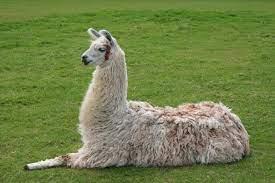 Facts, Food, Habitat and Population of Llama