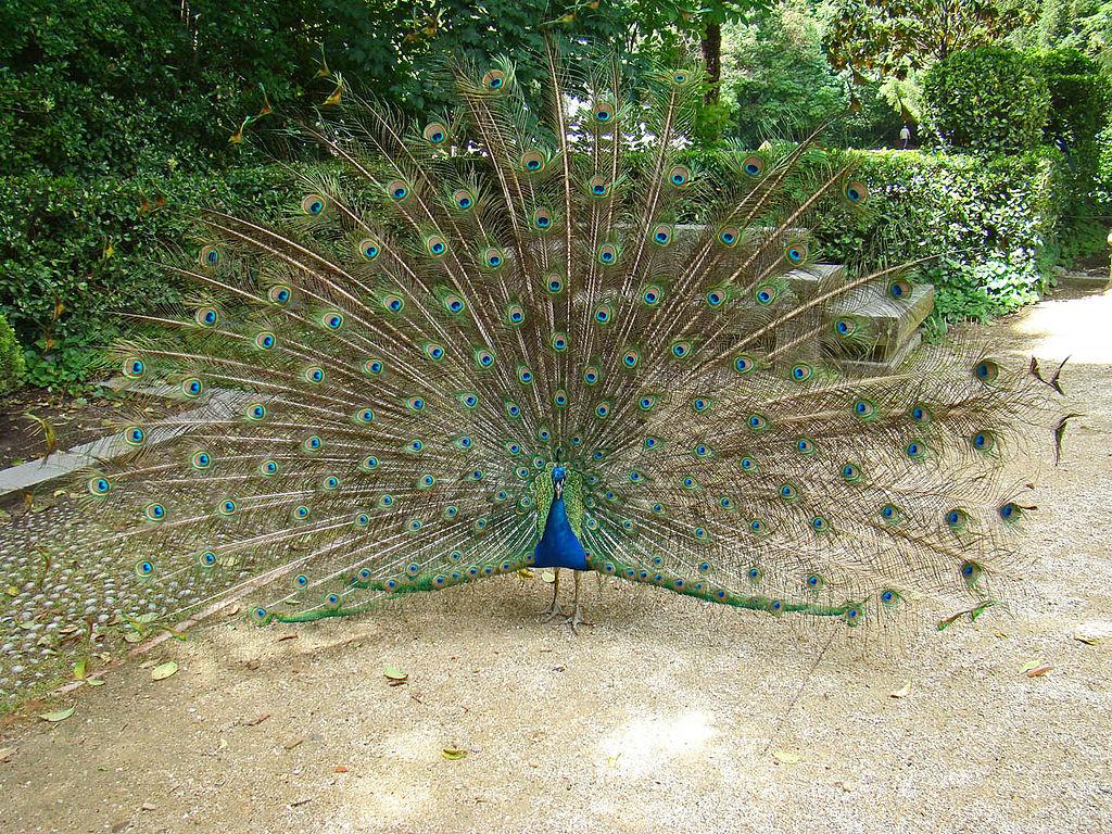 Educar en la fascinaci n no en la frustraci n el blog - Fotos de un pavo real ...