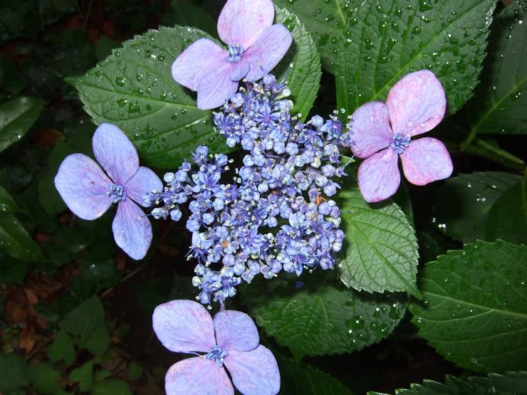 紫色のガクアジサイ