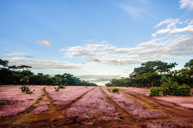 Đẹp ngỡ ngàng mùa cỏ hồng trên cao nguyên Gia Lai