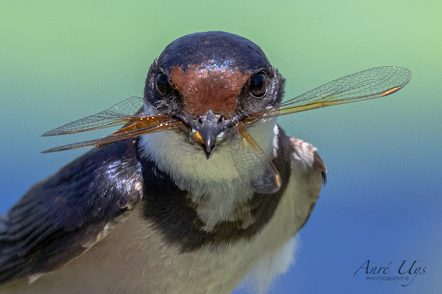 White-Throated Swallow & Dragonfly Stanford