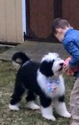 Giant Sheepadoodle Growth