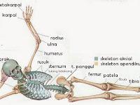Susunan rangka tubuh manusia
