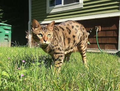 Karakter Kucing Cheetoh