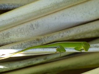 Lézard vert de Cuba