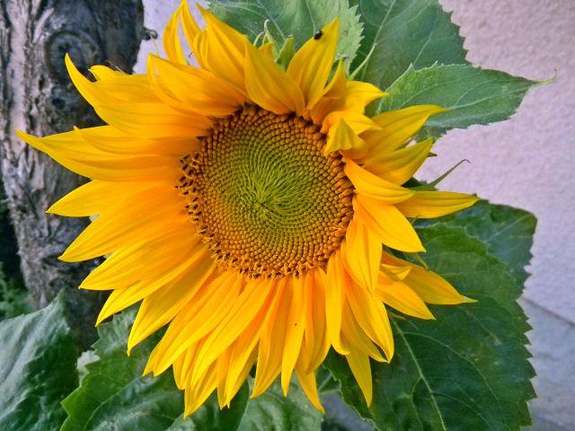 słonecznik, żółty, kwiat, ogród