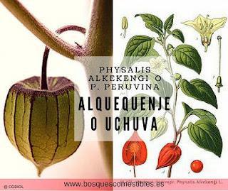 Physalis alkekengi
