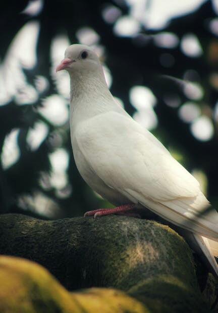 White Pigeon In Hindi