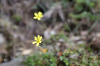 ヤクシマニガナ、屋久島の植物7月
