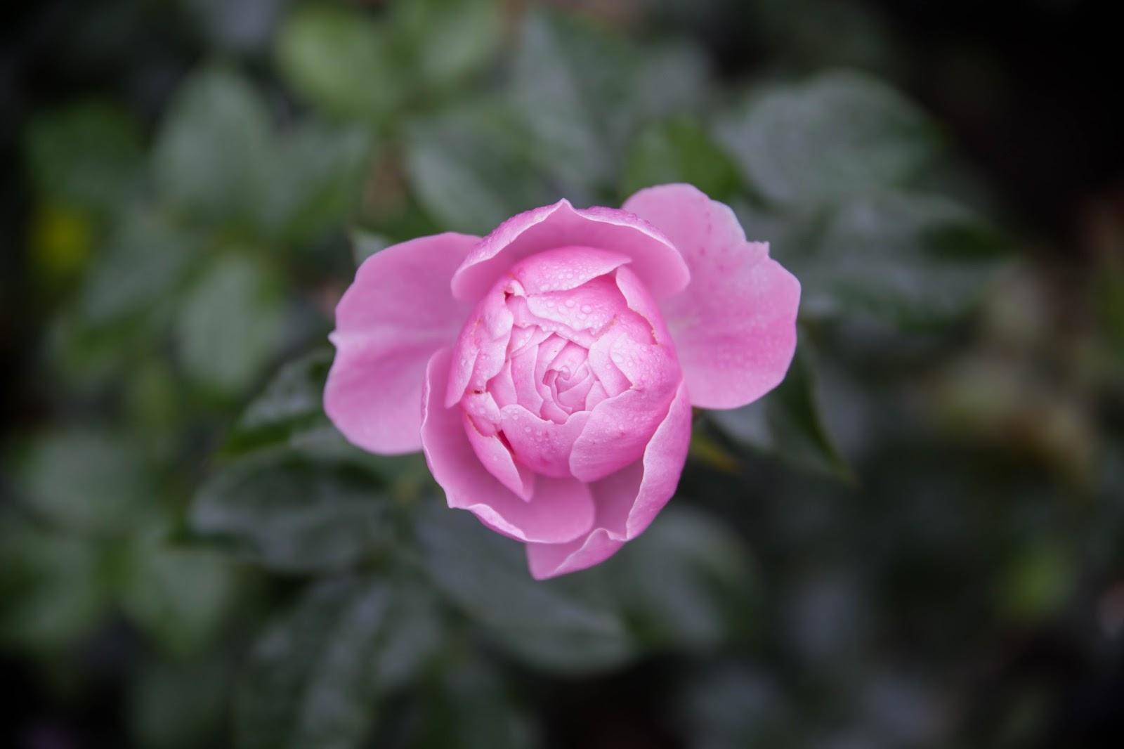 ruusu arboretum