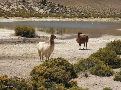 llamas, Atacama Desert