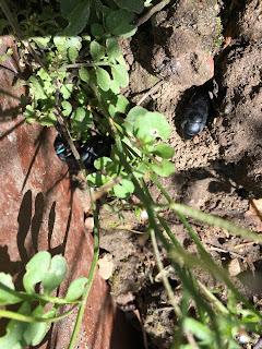 Käfer Graben Beet Erde