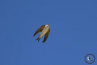 Avión común sobre Osuna