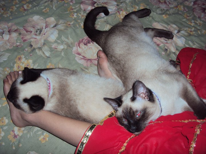 Pet Supplies Pakistan Pair Of Siamese Kittens For Sale
