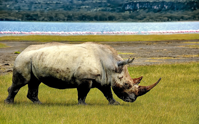 Learn fun and interesting facts about the rhinoceros. Where do they live? What do they eat? What is a crush? How can we protect them?