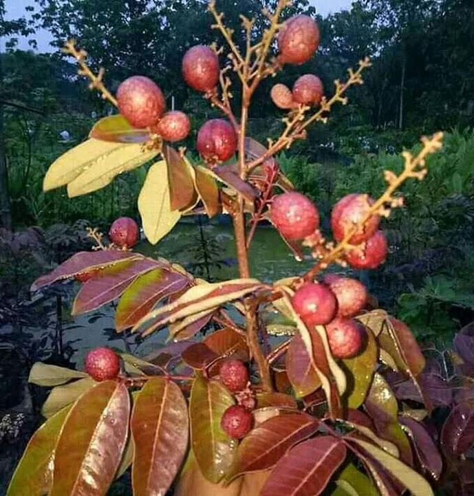 bibit lengkeng merah pohon kelengkeng merah benih kelengkeng merah benih pohon bibit tanaman buahan Sumatra Selatan