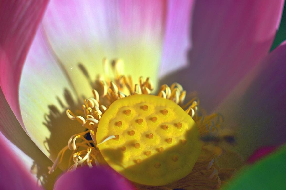 Nelumbo nucifera, Indische Lotosblume (2)