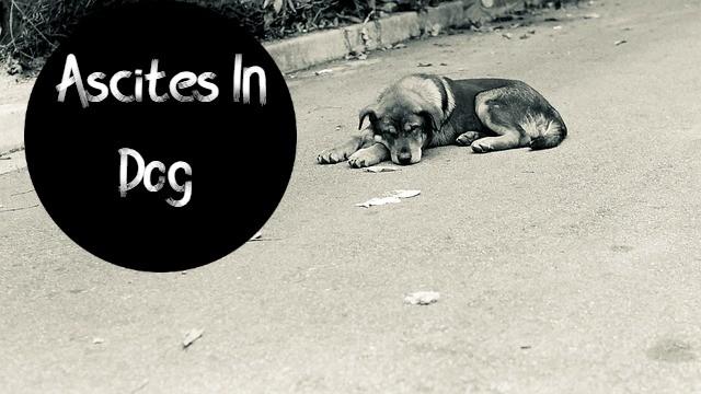 Ascites In Dog