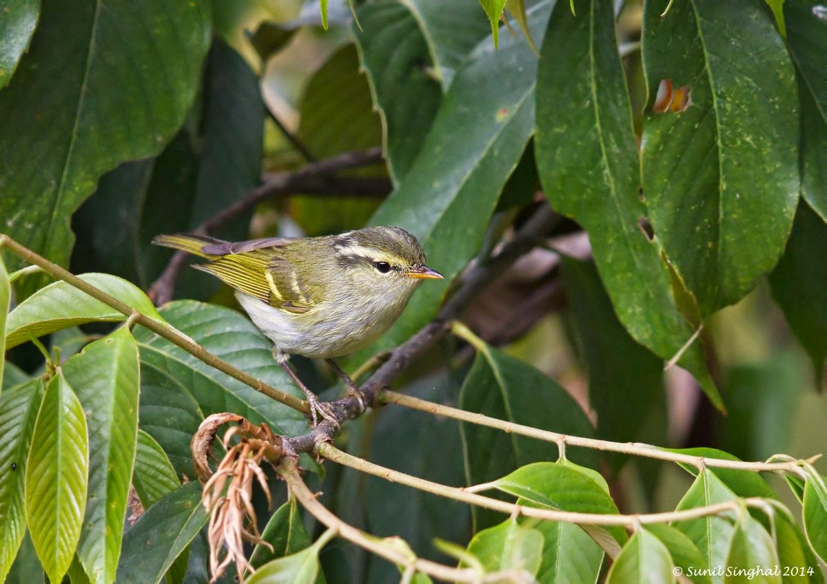 Indian Birds Photography: [BirdPhotoIndia] Western Crowned ...  Indian Birds Ph...