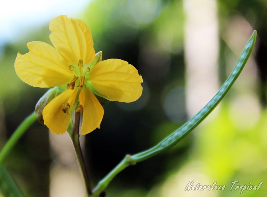 Flor y fruto característico de Senna occidentalis