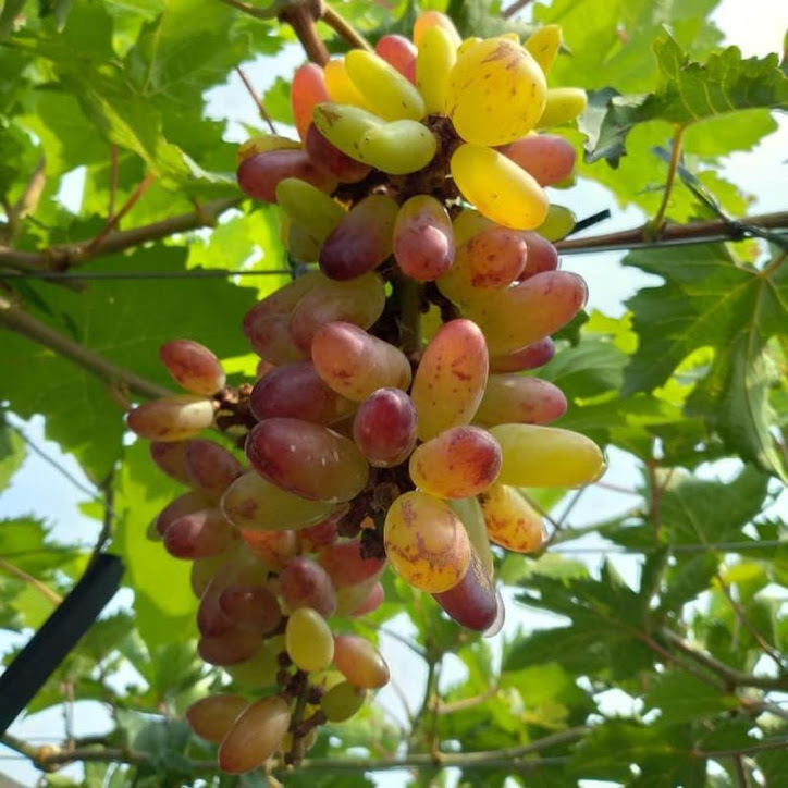 Bibit anggur Oscar VALID Bengkulu