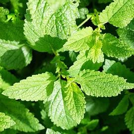 Nane, şifalı bitki, şifalı bitkiler, kurutulmuş nane, hıçkırık, terleme, bulantı, gaz söktürücü,
