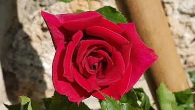 Rose-parfumée- blog-paris-a-louest